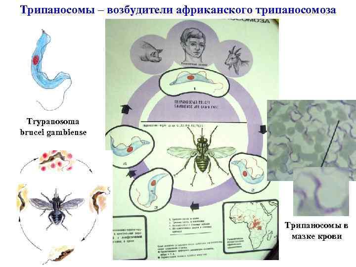 Трипаносомы – возбудители африканского трипаносомоза Trypanosoma brucei gambiense Трипаносомы в мазке крови