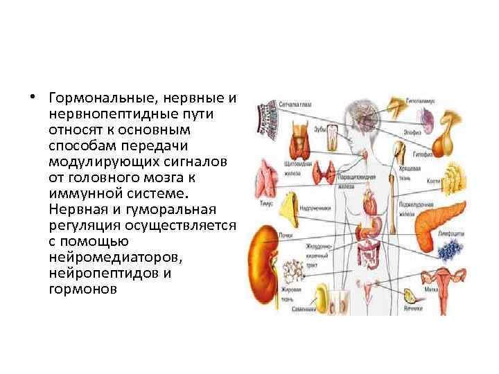 • Гормональные, нервные и нервнопептидные пути относят к основным способам передачи модулирующих сигналов