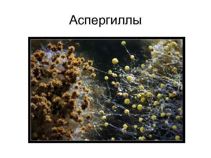 Аспергиллы