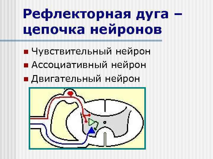 Рефлекторная дуга – цепочка нейронов Чувствительный нейрон n Ассоциативный нейрон n Двигательный нейрон n
