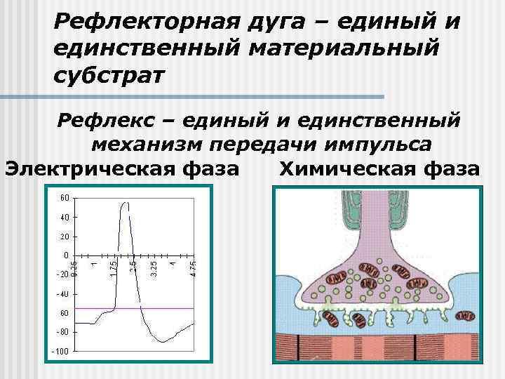 Рефлекторная дуга – единый и единственный материальный субстрат Рефлекс – единый и единственный механизм