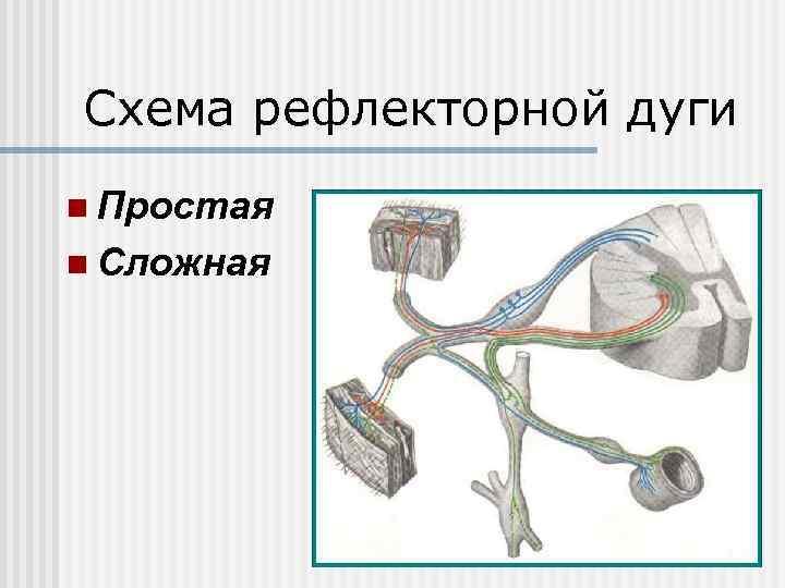 Схема рефлекторной дуги n Простая n Сложная