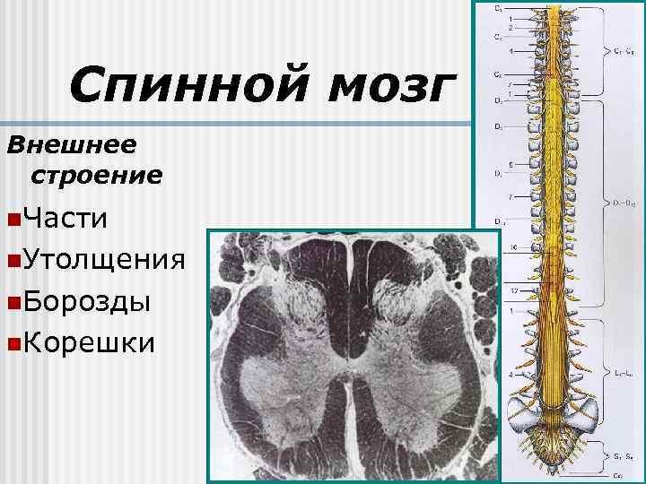 Спинной мозг Внешнее строение n. Части n. Утолщения n. Борозды n. Корешки