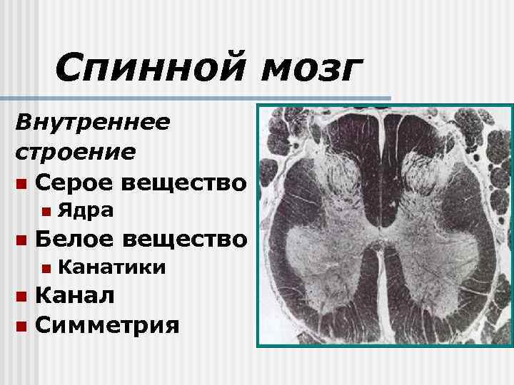 Спинной мозг Внутреннее строение n Серое вещество n n Ядра Белое вещество n Канатики