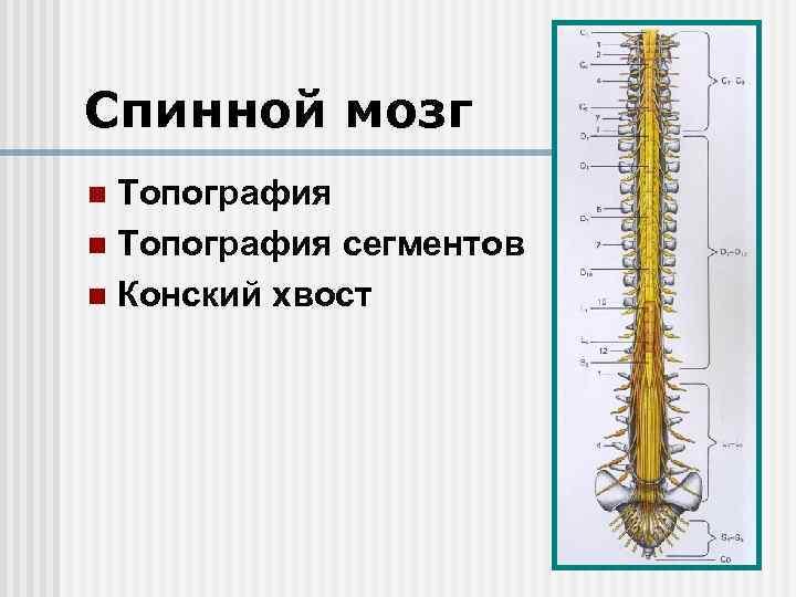 Спинной мозг Топография n Топография сегментов n Конский хвост n