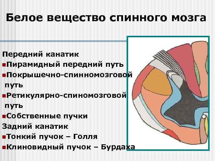 Белое вещество спинного мозга Передний канатик n. Пирамидный передний путь n. Покрышечно-спинномозговой путь n.