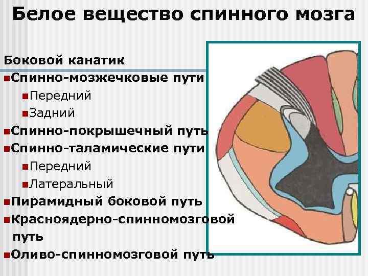 Белое вещество спинного мозга Боковой канатик n. Спинно-мозжечковые пути n. Передний n. Задний n.