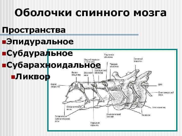 Оболочки спинного мозга Пространства n. Эпидуральное n. Субарахноидальное n. Ликвор