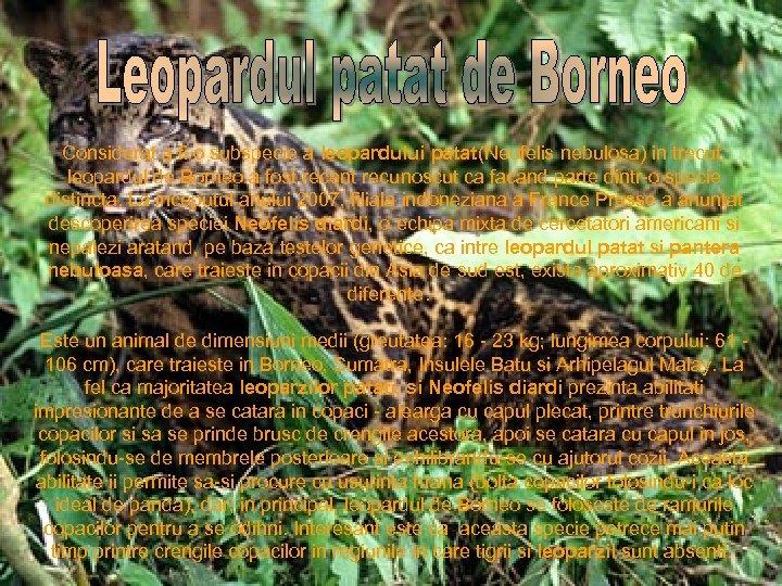 Considerat a fi o subspecie a leopardului patat(Neofelis nebulosa) in trecut, leopardul de Borneo