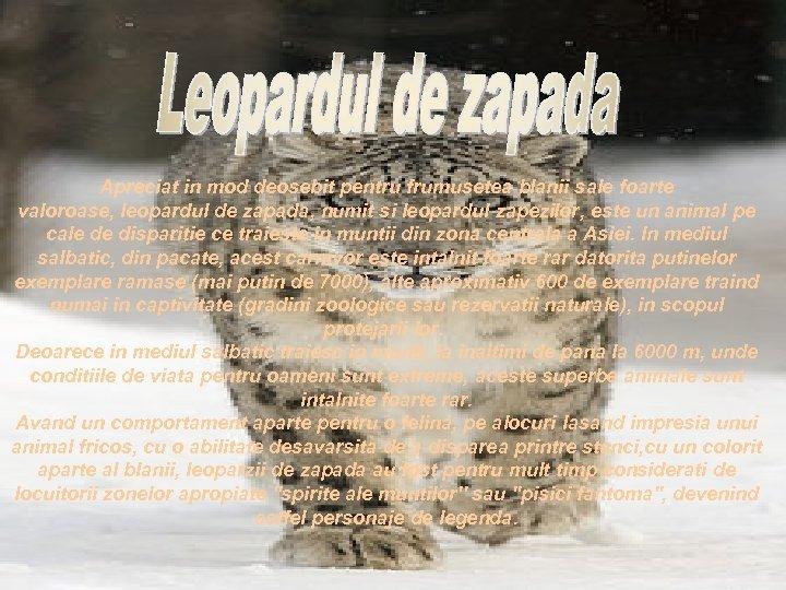 Apreciat in mod deosebit pentru frumusetea blanii sale foarte valoroase, leopardul de zapada, numit