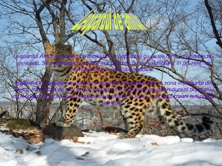 Leopardul Amur a cunoscut o diminuare a populatiei cu peste 80%, in ultimele trei