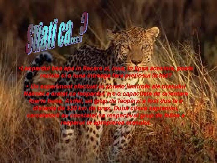 • Leopardul bea apa in fiecare zi, insa, in lipsa acesteia, poate rezista