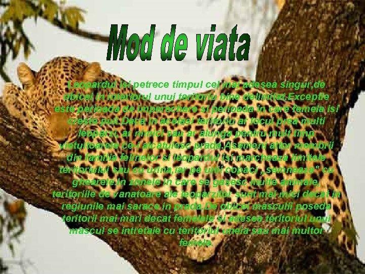 Leopardul isi petrece timpul cel mai adesea singur, de obicei in interiorul unui teritoriu