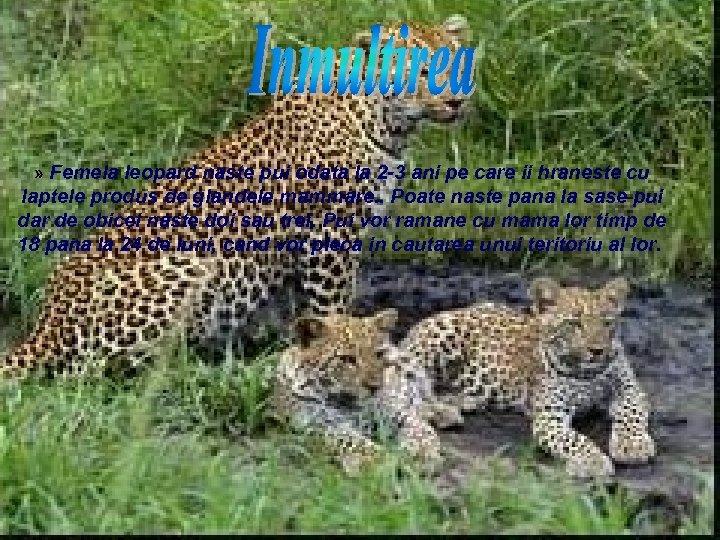 » Femela leopard naste pui odata la 2 -3 ani pe care ii hraneste