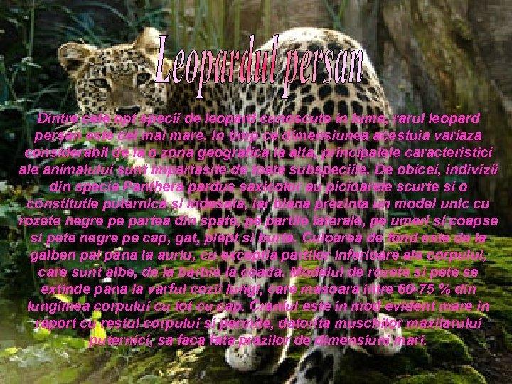 Dintre cele opt specii de leopard cunoscute in lume, rarul leopard persan este cel