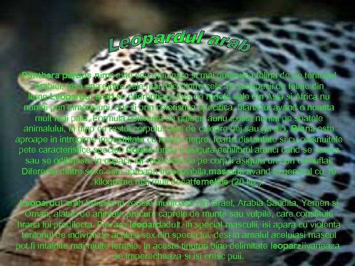 Panthera pardus nimr este cea mai mare si mai puternica felina de pe teritoriul