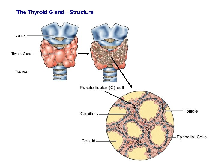 The Thyroid Gland The Thyroid Gland Largest