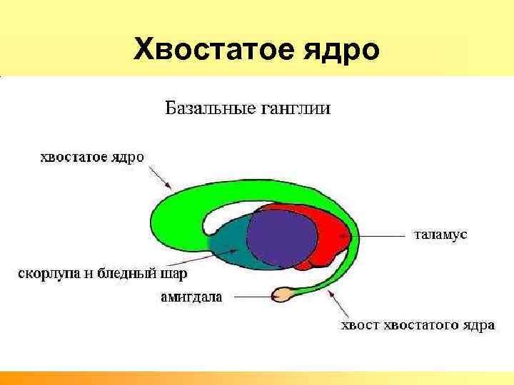 Хвостатое ядро