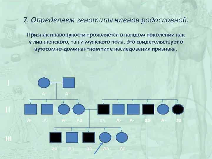 7. Определяем генотипы членов родословной. Признак праворукости проявляется в каждом поколении как у лиц