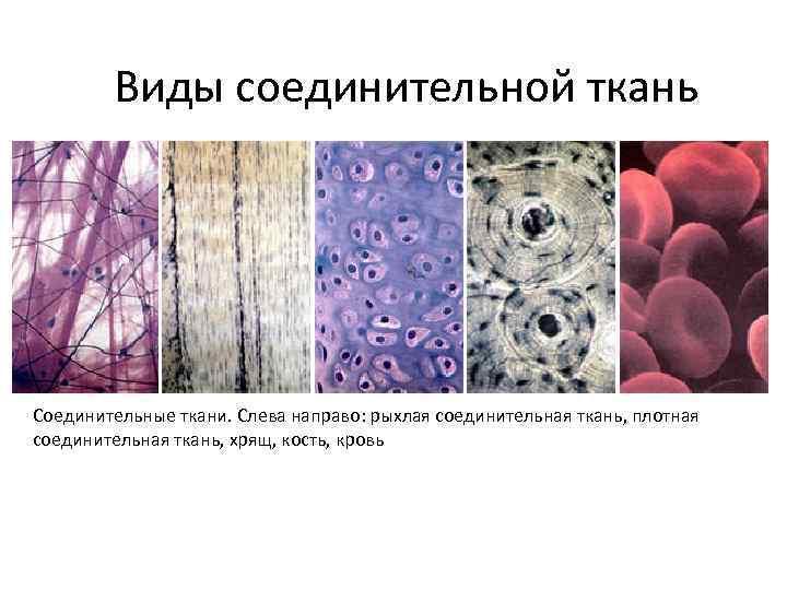 Виды соединительной ткань Соединительные ткани. Слева направо: рыхлая соединительная ткань, плотная соединительная ткань, хрящ,