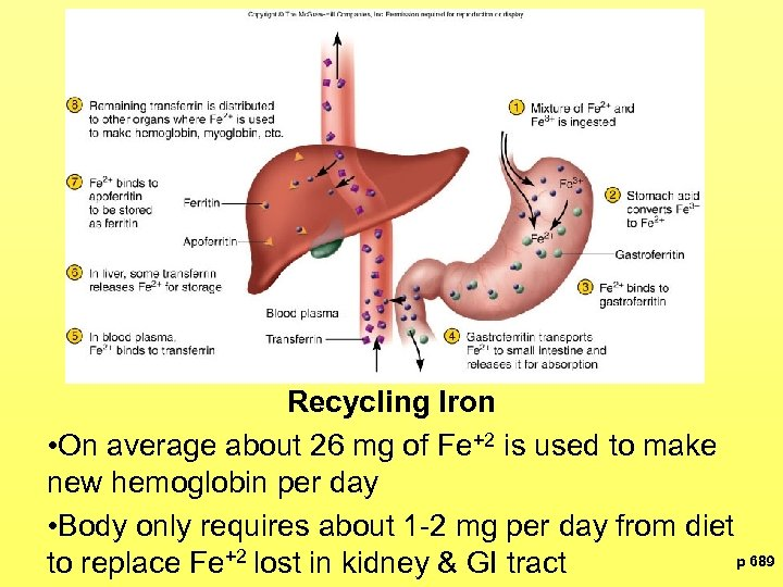 Recycling Iron • On average about 26 mg of Fe+2 is used to make