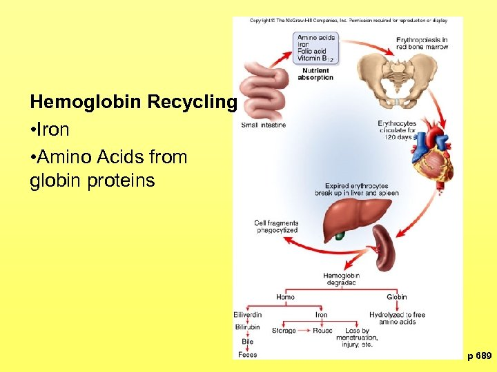 Hemoglobin Recycling • Iron • Amino Acids from globin proteins p 689