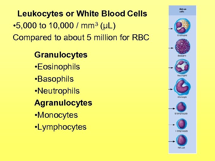 Leukocytes or White Blood Cells • 5, 000 to 10, 000 / mm 3