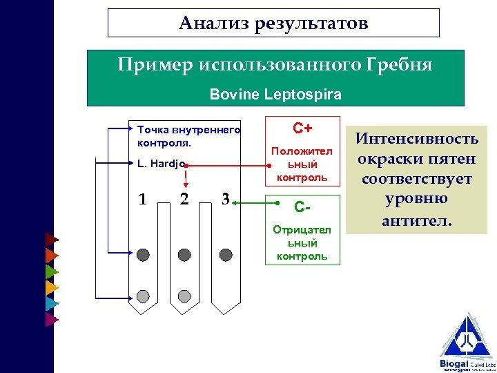 Анализ результатов Пример использованного Гребня Bovine Leptospira Точка внутреннего контроля. L. Hardjo 1 2