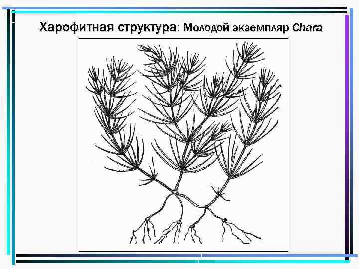 Харофитная структура: Молодой экземпляр Chara
