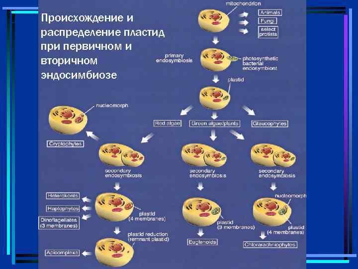 Происхождение и распределение пластид при первичном и вторичном эндосимбиозе