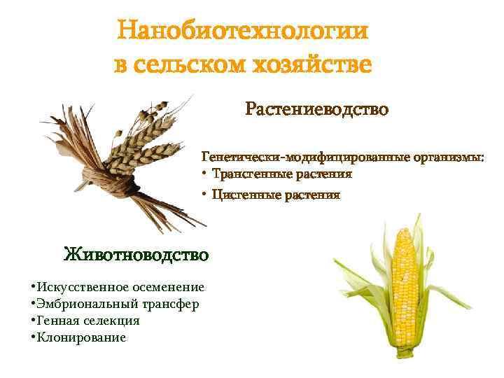 Нанобиотехнологии в сельском хозяйстве Растениеводство Генетически-модифицированные организмы: • Трансгенные растения • Цисгенные растения Животноводство