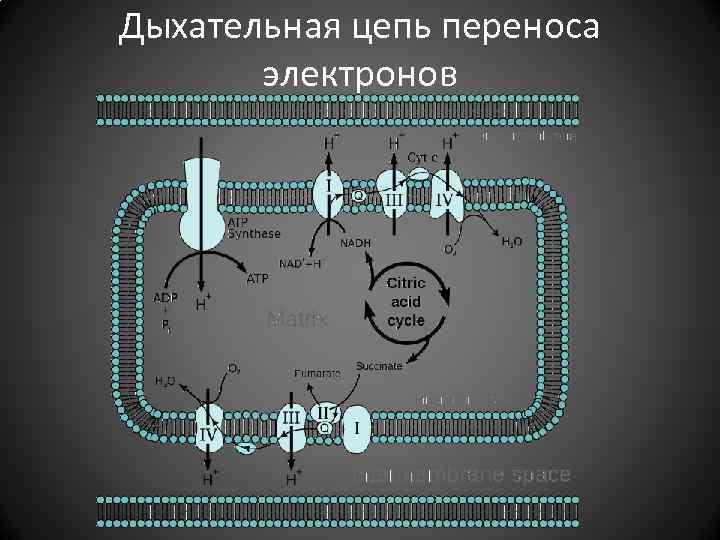 Дыхательная цепь переноса электронов