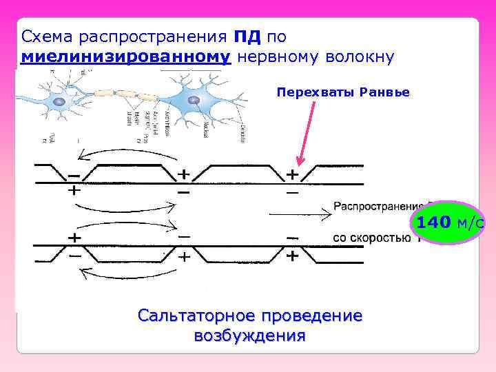 Схема проведения нервных импульсов