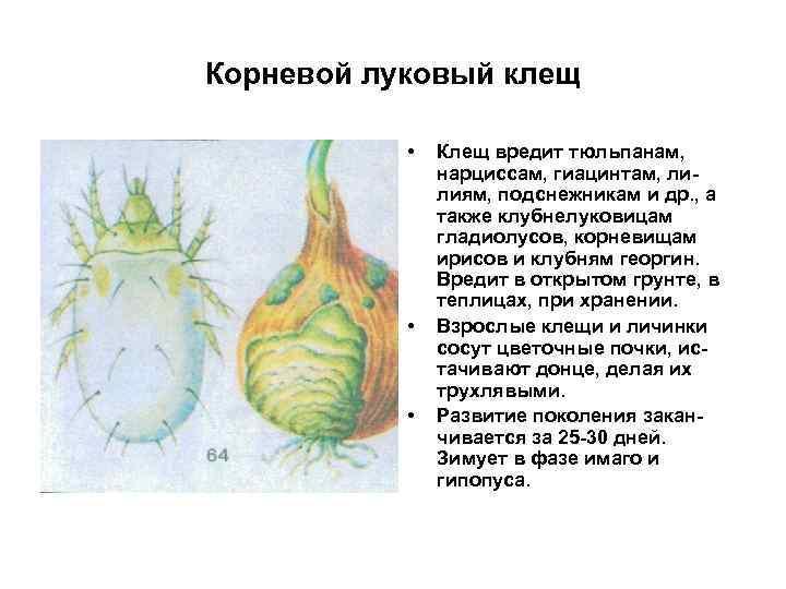Корневой луковый клещ • • • Клещ вредит тюльпанам, нарциссам, гиацинтам, лилиям, подснежникам и