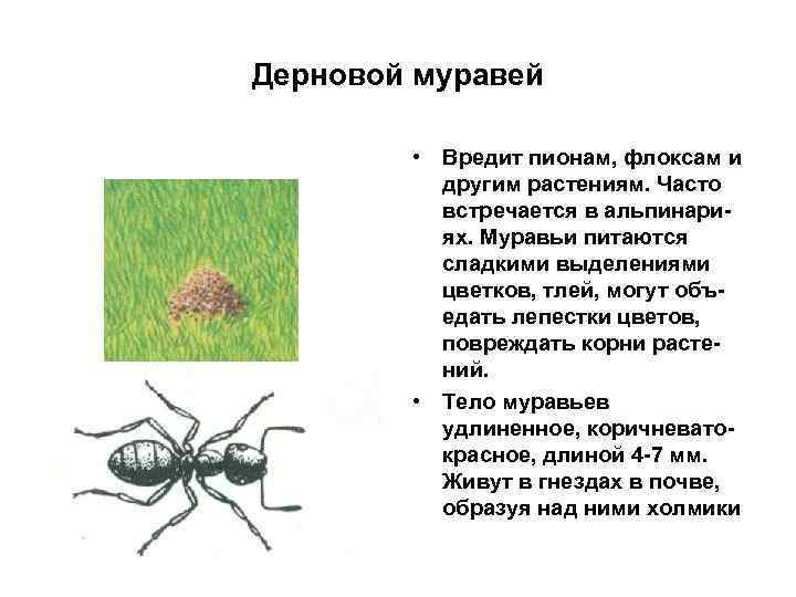 Дерновой муравей • Вредит пионам, флоксам и другим растениям. Часто встречается в альпинариях. Муравьи