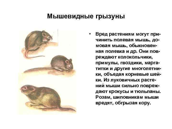 Мышевидные грызуны • Вред растениям могут причинить полевая мышь, домовая мышь, обыкновенная полевка и