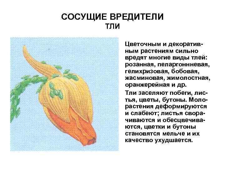 СОСУЩИЕ ВРЕДИТЕЛИ ТЛИ • Цветочным и декоративным растениям сильно вредят многие виды тлей: розанная,