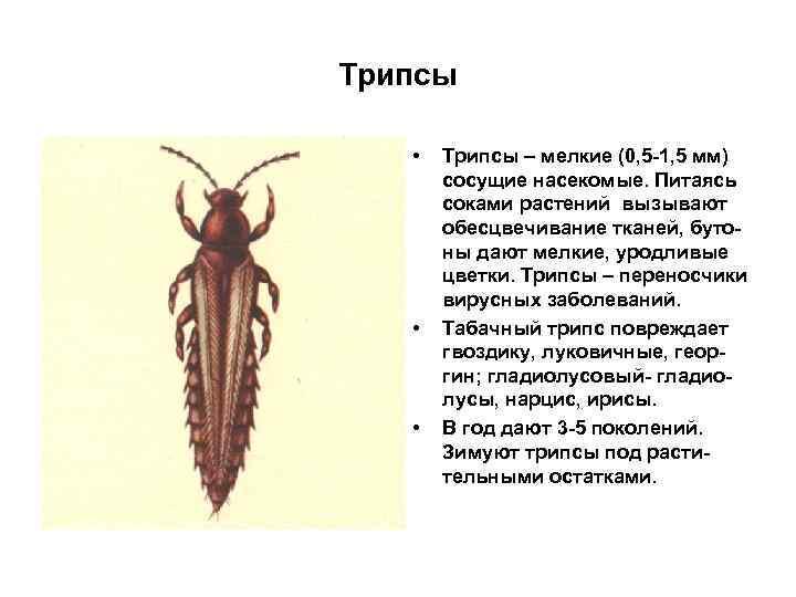 Трипсы • • • Трипсы – мелкие (0, 5 -1, 5 мм) сосущие насекомые.