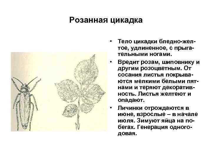 Розанная цикадка • Тело цикадки бледно-желтое, удлиненное, с прыгательными ногами. • Вредит розам, шиповнику