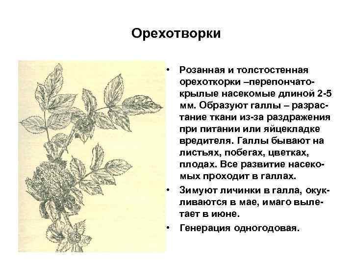 Орехотворки • Розанная и толстостенная орехоткорки –перепончатокрылые насекомые длиной 2 -5 мм. Образуют галлы