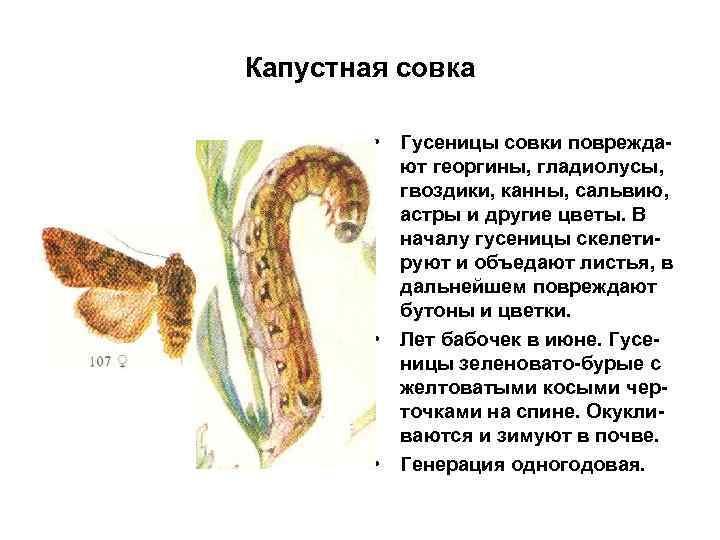 Капустная совка • Гусеницы совки повреждают георгины, гладиолусы, гвоздики, канны, сальвию, астры и другие