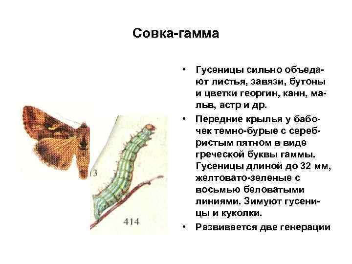 Совка-гамма • Гусеницы сильно объедают листья, завязи, бутоны и цветки георгин, канн, мальв, астр