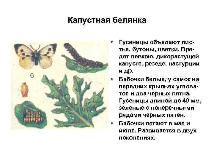 Капустная белянка • Гусеницы объедают листья, бутоны, цветки. Вредят левкою, дикорастущей капусте, резеде, настурции