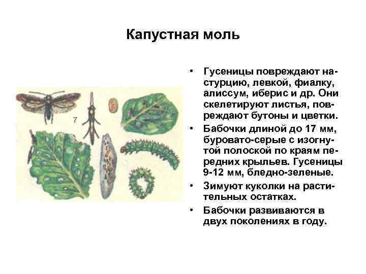 Капустная моль • Гусеницы повреждают настурцию, левкой, фиалку, алиссум, иберис и др. Они скелетируют