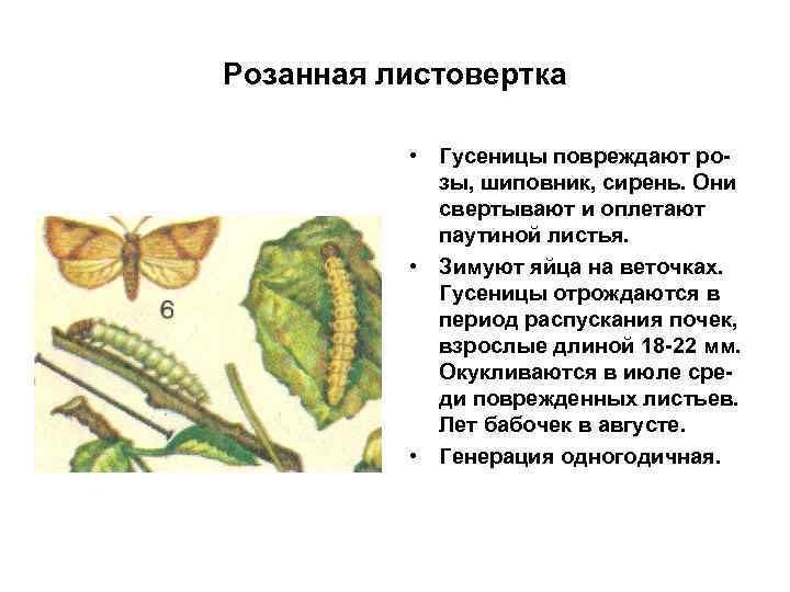 Розанная листовертка • Гусеницы повреждают розы, шиповник, сирень. Они свертывают и оплетают паутиной листья.