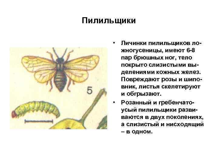 Пилильщики • Личинки пилильщиков ложногусеницы, имеют 6 -8 пар брюшных ног, тело покрыто слизистыми