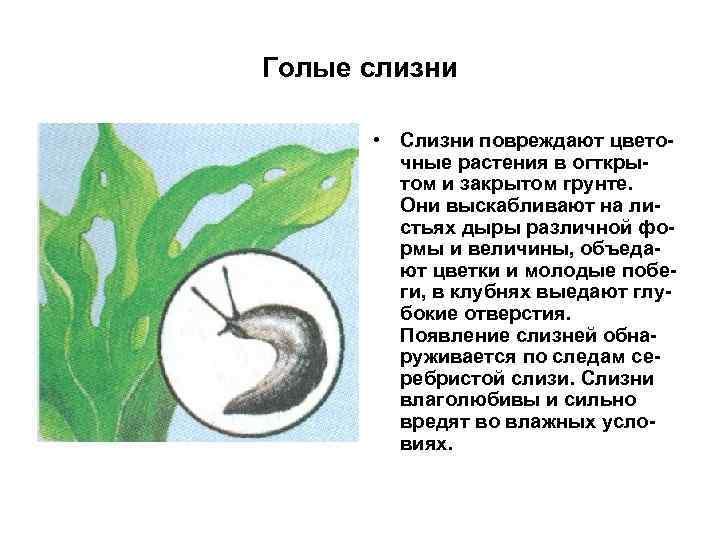 Голые слизни • Слизни повреждают цветочные растения в огткрытом и закрытом грунте. Они выскабливают