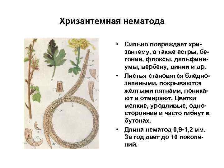 Хризантемная нематода • Сильно повреждает хризантему, а также астры, бегонии, флоксы, дельфиниумы, вербену, цинии