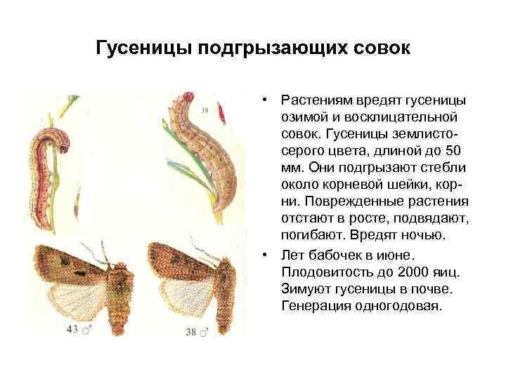 Гусеницы подгрызающих совок • Растениям вредят гусеницы озимой и восклицательной совок. Гусеницы землистосерого цвета,