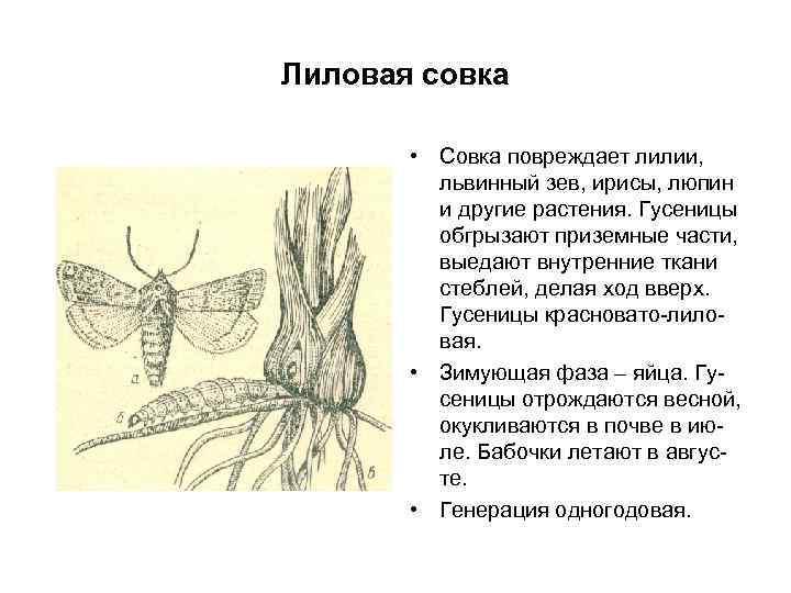 Лиловая совка • Совка повреждает лилии, львинный зев, ирисы, люпин и другие растения. Гусеницы